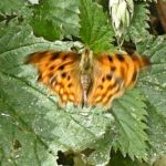 2014 - Comma Butterfly on Nettle