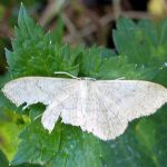 2014 - Common White Wave Moth