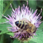 2014 - Honeybee on Knapweed