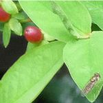 2014 - Mystery bug on St Johns Wort