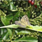 2014 - Speckled Wood Butterfly