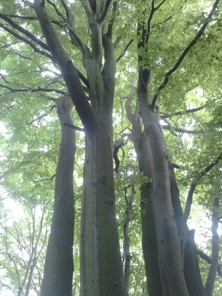 Beeches In Highgate Wood