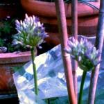 Allium 'Globemaster'2 baby globes, 9th May 2011