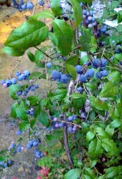 Blu2 Blueberry bush