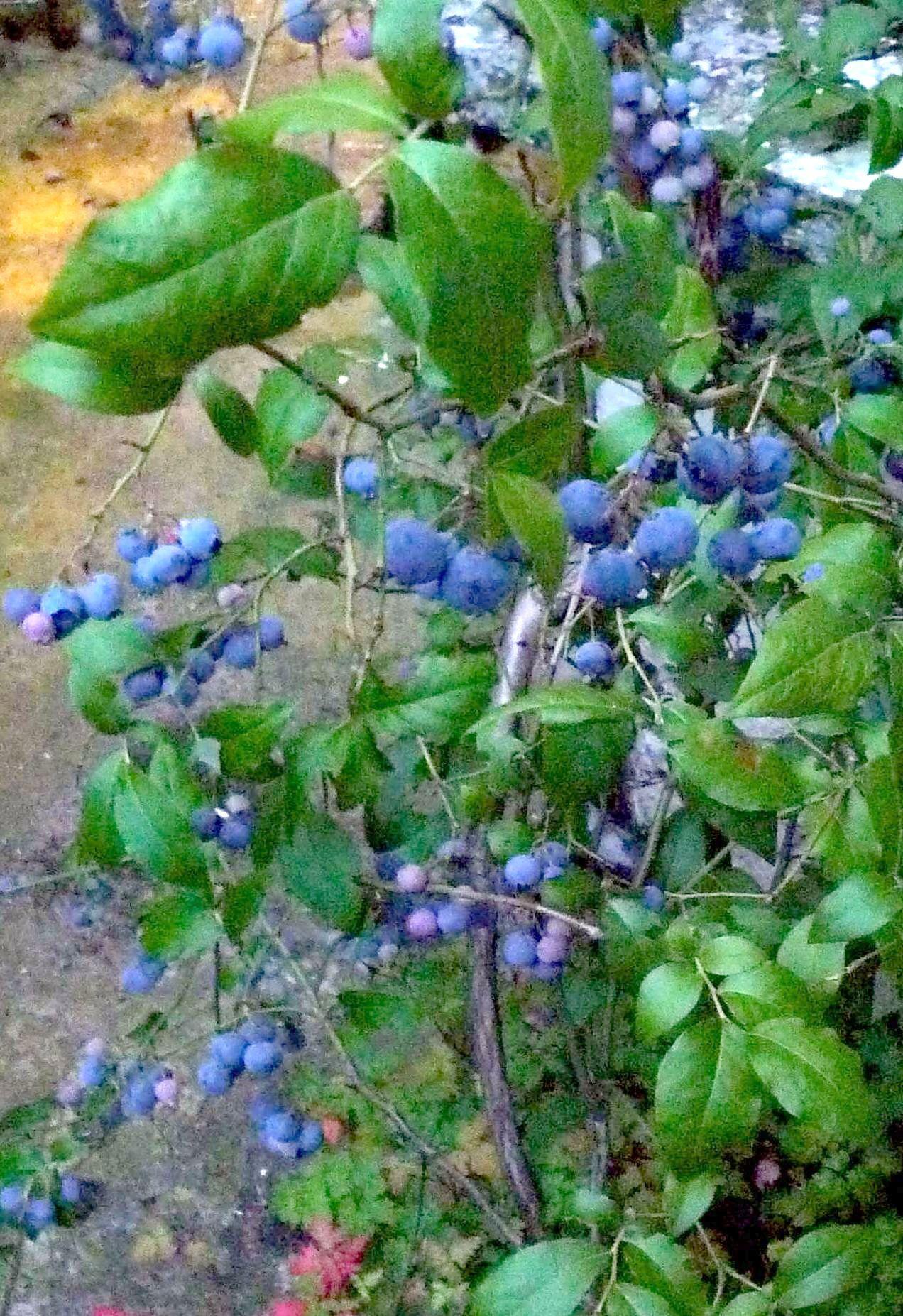 Blueberry Vaccinium Corymbosum Highbury Wildlife