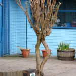 Buddleia tree pruned for winter