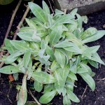 Centaurea Montana in spring