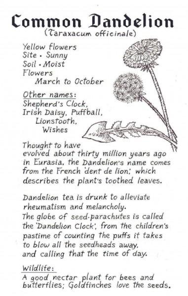 Dandelion crop2