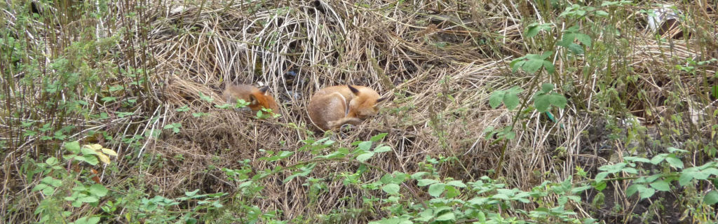 Fox and Cub, in back asleep LONG CROP P1010137