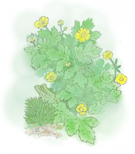 Frog (New) and Creeping Buttercup
