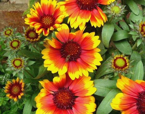 G1 Gaillardia flowers with hoverfly, 6th Aug 2011