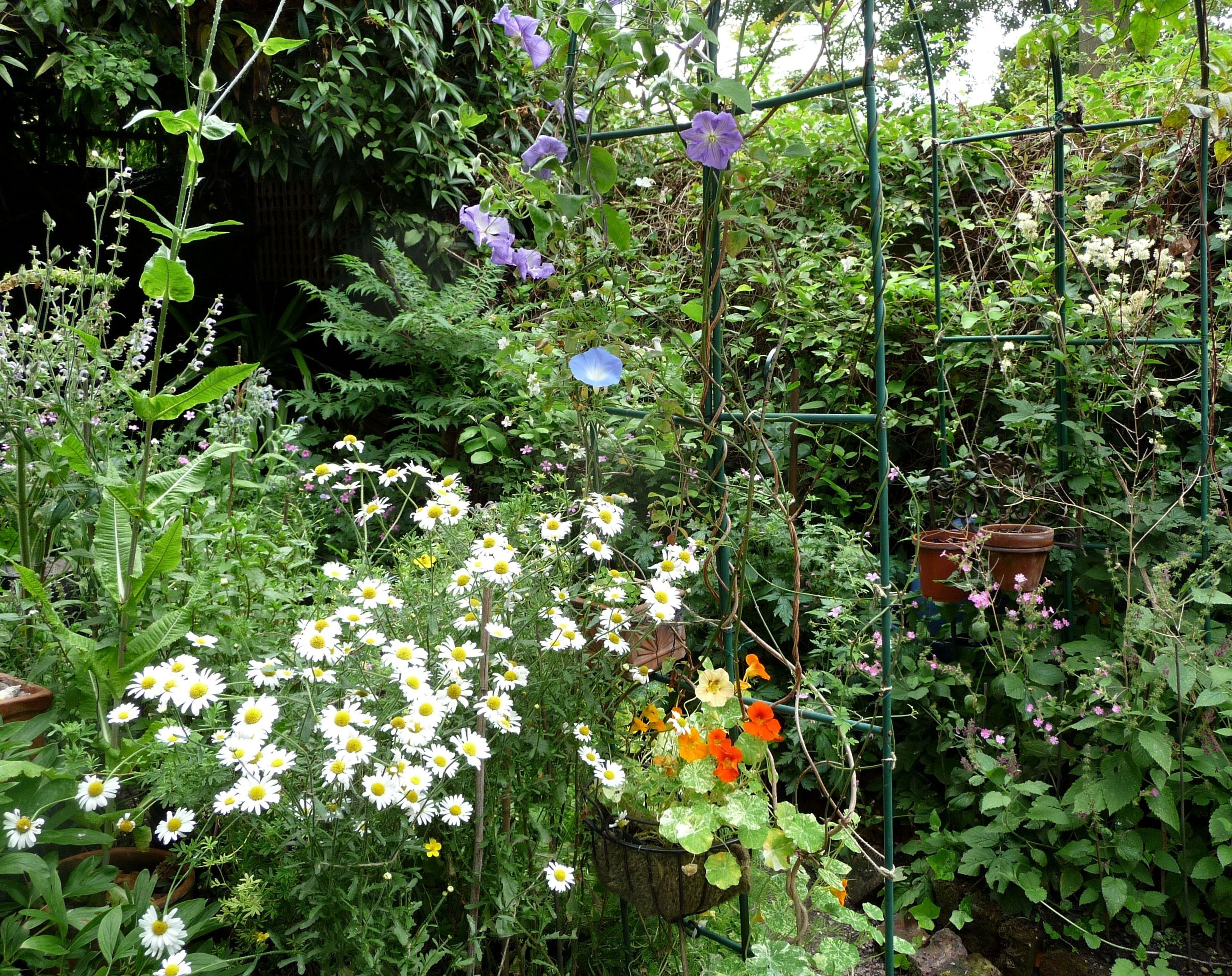 GARDEN3, WOxeye Daisies, Perle D'Azur, MG 'Heavenly Blue