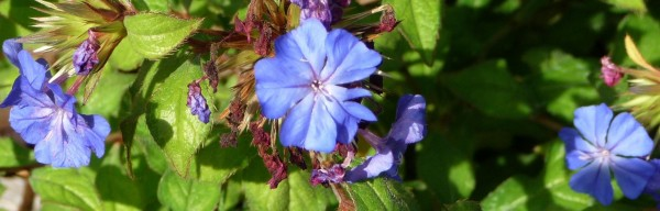 Ceratostigma Willmottianum (Blue Plumbago), planted in rock gdn behind centre