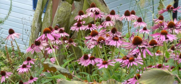 Gillespie Park Fl - Coneflowers in the rock garden