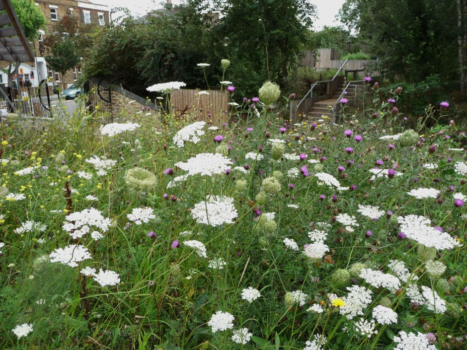 Looking down to the front gates on Drayton Park Road through wildflower meadow of Wild Carrot and Knapweed, planted by Conservation Ranger Richard Meyers.
