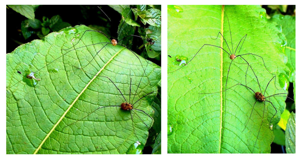 HARVESTMEN FR on Himalayan Knotweed leaf