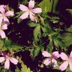 Hardy Geranium Oxonianum 'Wargrave Pink'~
