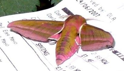 Insect - Arsenal Elephant Hawkmoth2