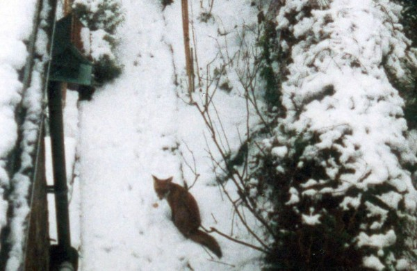Kitchen window view2, Fox in melting snow