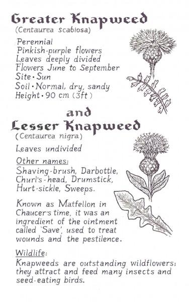 Knapweed crop