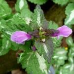 Lamium maculatum (1)