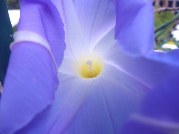 MG1 Morning Glory 'Heavenly Blue' opening up