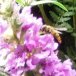 Marmalade Hoverfly on Purple Loosestrife