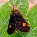 Mint Moth on grapevine leaf crop