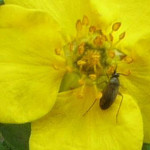Mystery bug on Potentilla flower