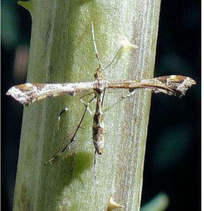 No 3 Plume Moth