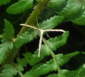 Plume moth on fern 2015