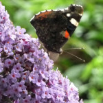 Red Admiral Butterfly on Buddleia