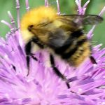 Row 1 No 1 - Bumblebee on Knapweed 29 July 2014