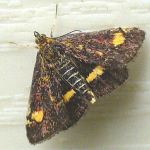 Row 1 No 2 - Mint Moth, Jun 2014