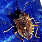 Row 1 No 3 - Forest Shieldbug (Pentatoma rufipes) on blue table, 3rd Sep 2012