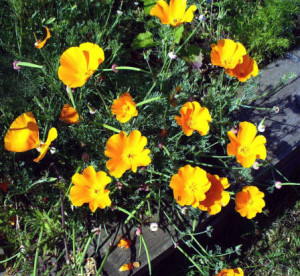 Row 1 No 4 California Poppies