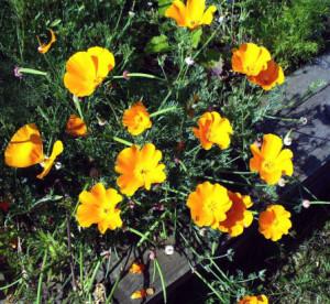 Row 1 No 4 California Poppies