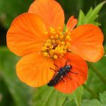 Row 1 No 4 - Ladybird larva on Geum