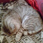 Tigg asleep on Chapel Mkt rug 11 Nov 07