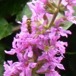 Row 2 No 3 - Marmalade Hoverfly on Purple Loosestrife