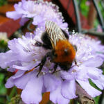 Row 4 No 1 - Bumblebee on Scabious