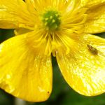 Row 4 No 3 - Spotty bug on Buttercup