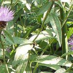 Row 5 No 3 - Honeybees on Knapweed, 29 July 2014