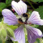 Row 6 No 4 - Bumblebee on Hardy Geranium