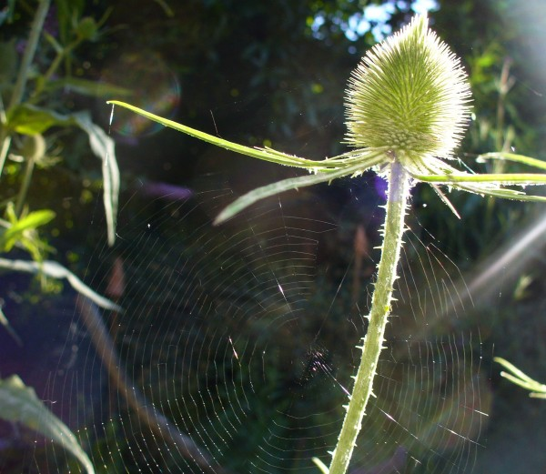 SPIDERWEB on teasel two 985