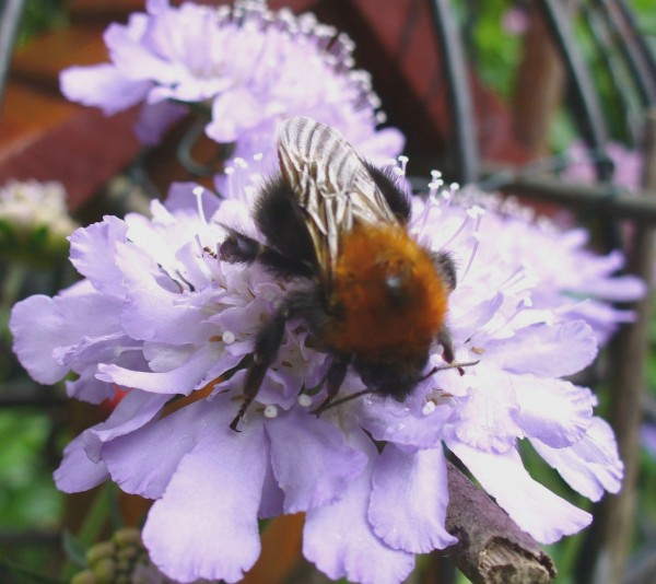 Scabious with Bumblebee