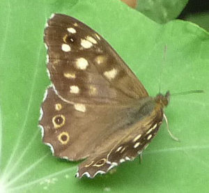 Speckled Wood on Nasturtium leaf