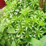 Sweet Woodruff flowers with bee early June 2013