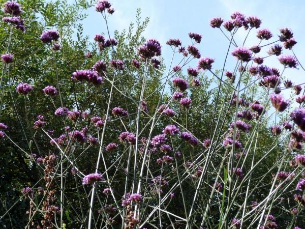 Verbena Bonariensis at Gillespie Park