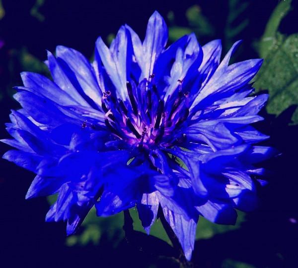 WCornflower